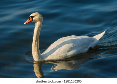 Mute swan (Cygnus olor), waterfowl is in the water of Lake Zug