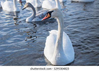 The mute swan (Cygnus olor). White swans on water in winter cold day   swimming on river. Portrait