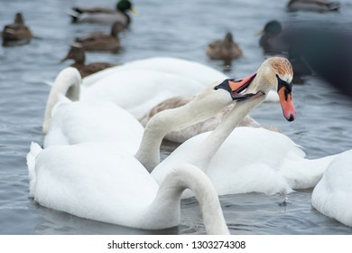 The mute swan Cygnus olor. White swans on water in winter cold day swimming on river. migratory birds in Ukraine river Dnepr Many wild ducks and swans