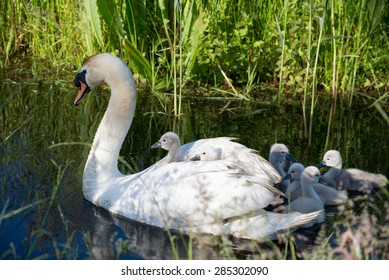 Mute swan, cygnus olor with young