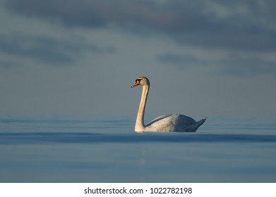 The mute swan (Cygnus olor)relaxed in calm waters