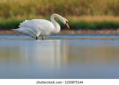 Mute swan (Cygnus olor).Tylihul Estuary, Ukraine