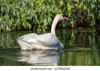 Mute Swan in the Danube Delta