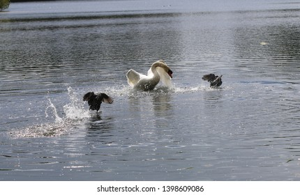 Mute swan & Eurasian coot - Common coot