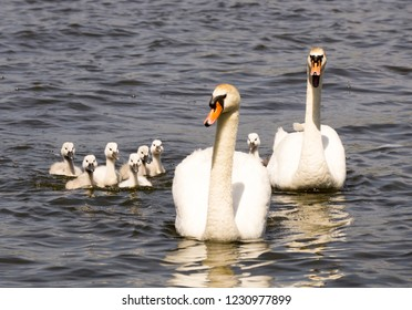 A mute swan family with seven fluffy cygnets and guarding parents is approaching on the water