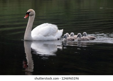 Mute Swan with five cygnets on lake