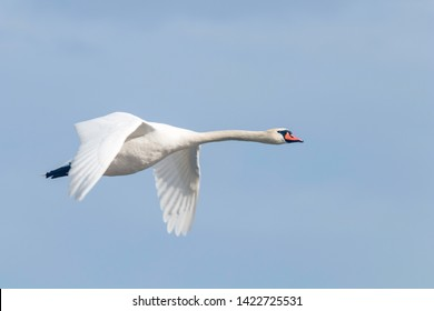 Mute Swan in flight blue sky (Cygnus olor)