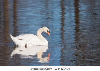 A mute swan glides across a blue lake. Its soft feathers and shoreline trees reflect in the rippling water.