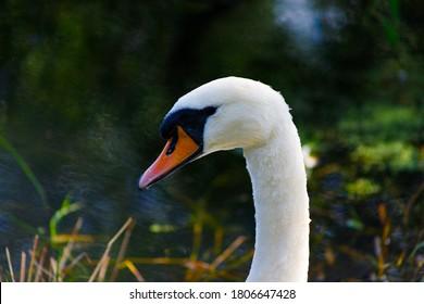 Mute Swan Head lake background
