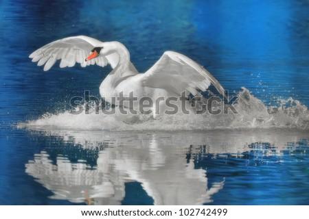 mute-swan-landing-latin-name-450w-102742