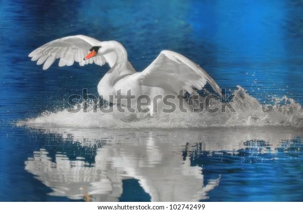 mute-swan-landing-latin-name-600w-102742