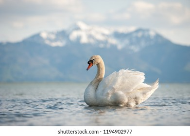 Mute swan, lat. Cygnus olor, displaying on lake with snow mountains in background, Bavaria, Germany