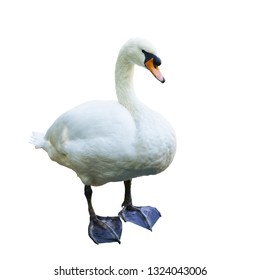 Mute Swan (lat. Cygnus olor) - a bird with a long neck , elongated body, with an orange-red beak, at the base of which there is a characteristic black growth. Family of duck (lat. Anatidae)