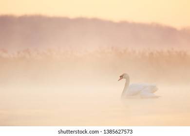 Mute swan in morning fog on the lake