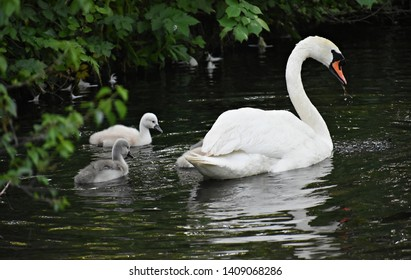 Mute Swan mother (Cygnus olor), swimming with her babies (cygnets). Swans are birds of the family Anatidae within the genus Cygnus.
