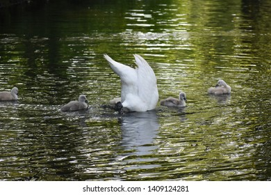 Mute Swan mother (Cygnus olor),with the head into the water, is looking for food for her babies (cygnets). Swans are birds of the family Anatidae within the genus Cygnus.