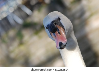 A mute swan on the banks of the river Thames in Windsor