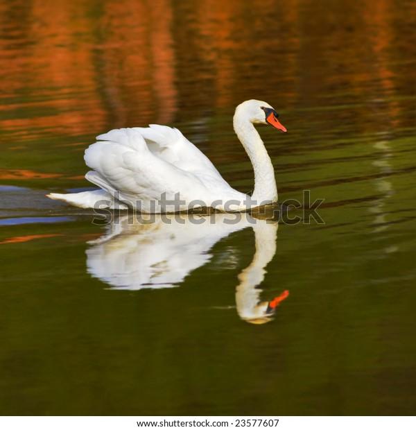 mute-swan-on-falling-pond-600w-23577607.