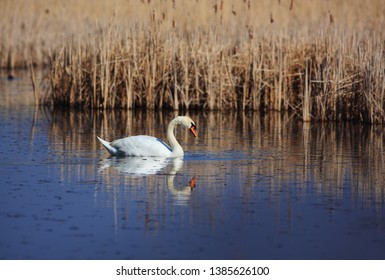 Mute swan on fishpond on spring