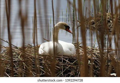 Mute swan on the nest