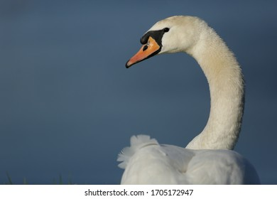 Mute Swan on the pond, Cygnus olor