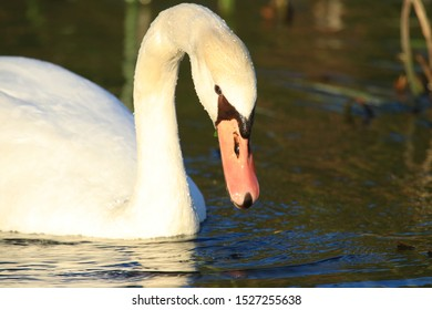 Mute swan on the river in beautiful sunlight