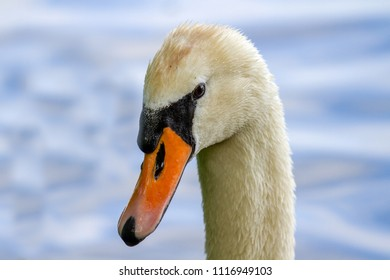 Mute Swan Portrait (Cygnus Olor) on plain background, Marlow, United Kingdom