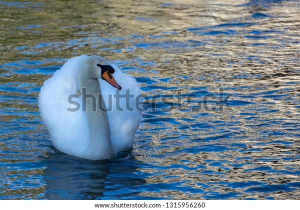 Mute Swan positioned to the left of the image looking to the right with a rippled water surface leaving space fpr copy