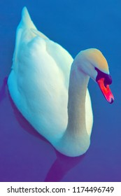 Mute Swan said most beautiful Regal bird because it effectively reveals fether and crucially swims. Cob swan portrait