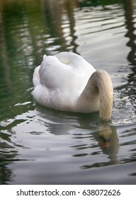 Mute Swan said most beautiful Regal bird because it effectively reveals fether and crucially swims. But its just aggressive posture, and misconception comes from medieval bestiary. Swan feeds
