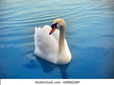 Mute Swan said most beautiful Regal bird because it effectively reveals fether and crucially swims. But its just aggressive posture, and misconception comes from medieval bestiary