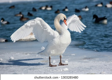 Mute Swan Standing on Ice with Wings Open