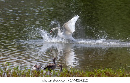 A Mute Swan straddles the back of a Greylag Goose during a territorial dispute. The goose is forced underwater by the swan.