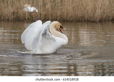Mute Swan, Swans, Birds