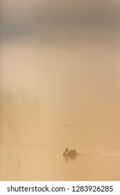 Mute swan swimming in the fog at the lake