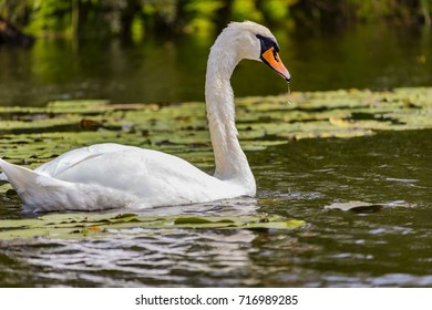 mute swan swimming in front of water-lily