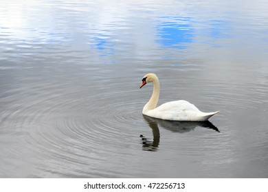 Mute Swan swimming on and English lake