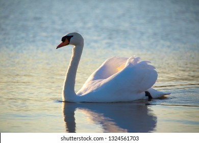 Mute swan swimming on a lake