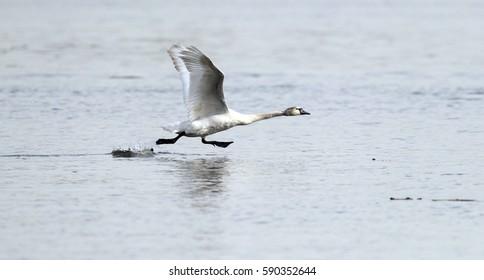 Mute Swan is taking off from water. Swan running on water at River Danube in Zemun, Belgrade,Serbia.