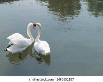 The mute swan - White swans on water - White swans swimming on river - Swans gorgeous on grey water surface