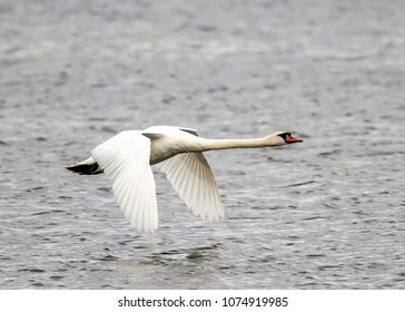 mute swan,Cygnus olor is a species of swan and a member of the waterfowl family Anatidae