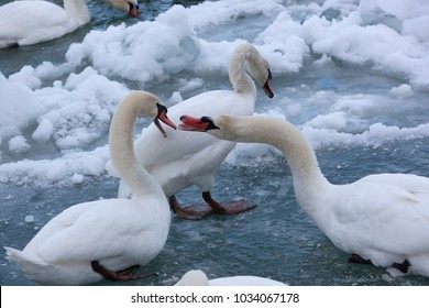Mute Swans in a Cold, Snowy Blue River
