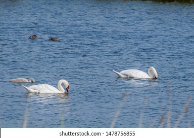 Mute Swans (Cygnus olor) with cygnet in lake, Schleswig-Holstein, Germany