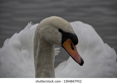 Mute Swans at Drinkfield Marsh Nature Reserve in Darlington County Durham England UK