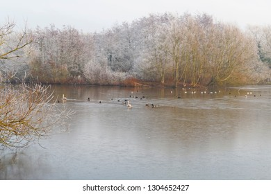 Mute Swans, Mallards, Seagulls, Coots and other birds on a part frozen lake bordered by frost laden trees and bushes