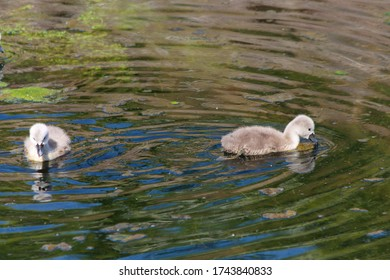 Mute Swans offspring in the Frontenpark (english Frontenpark) learning to swim and to survive