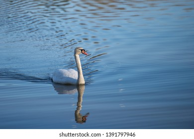 Mute Swans Warnham Nature Reserve Horsham West Sussex England UK