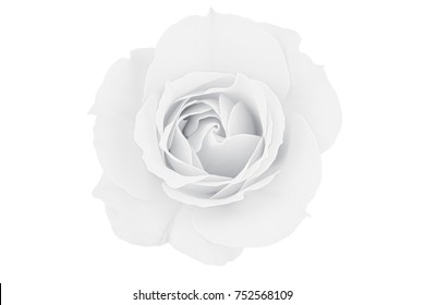 Muted monotone  rose isolated on white