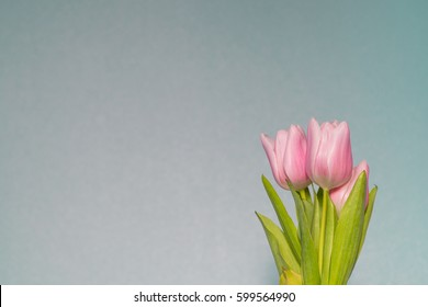 Muted pale pink tulips (Tulipa Gesneriana) against muted pastel light baby bluish wall  background - Fashion color trends: Rosy Opalescence, Immature Blue and Greenery colours of Spring Summer 2017