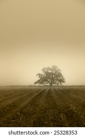 Muted sepia oak tree in Winter fog, cultivated farm land in foreground with fog in furrows